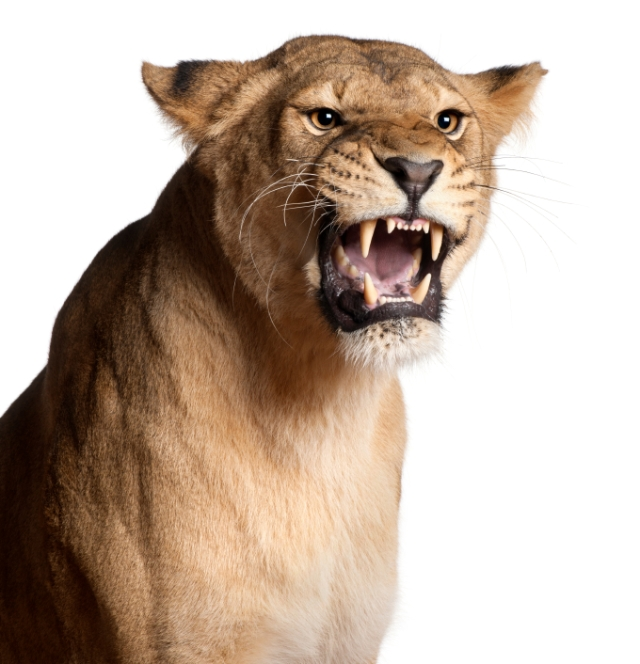 Lioness, Panthera leo, snarling in front of white background iStock_000018973135Small